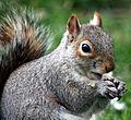 Squirrel in St. James's Park 2.jpg