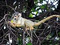 Squirrel monkey 2.JPG