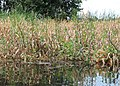 Stachys palustris kz01.jpg