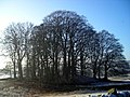 Stand of Trees Near Dunscore - geograph.org.uk - 638407.jpg
