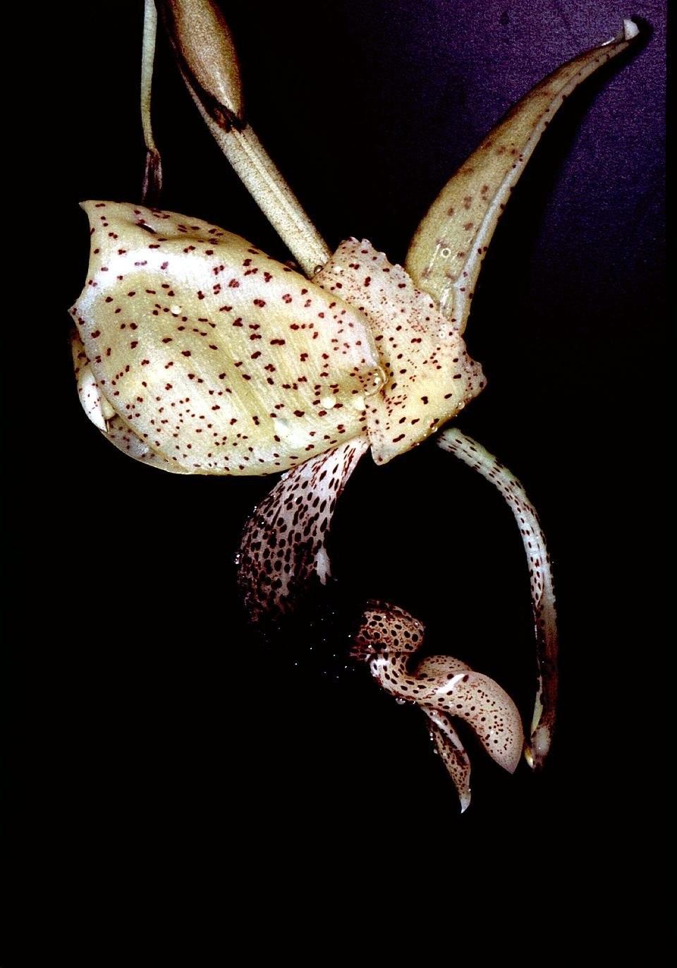 Stanhopea platyceras Orchi 001