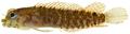 Starksia atlantica - pone.0010676.g150.png