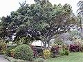 Starr-010420-0127-Ficus benjamina-habit-Kahului-Maui (23904163454).jpg