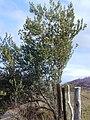Starr-010423-0001-Olea europaea subsp europaea-habit-Kula-Maui (24506166996).jpg