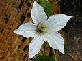 Starr-010424-0026-Coccinia grandis-flower and bee-Maui Meadows Kihei-Maui (24506047596).jpg