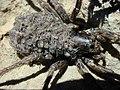 Starr-020625-0014-Trisetum glomeratum-Lycosa hawaiiensis with babies on back-Kalahaku HNP-Maui (24182327979).jpg