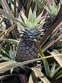 Starr-020630-0018-Ananas comosus-leaves and fruit-Makawao-Maui (24524049616).jpg