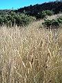 Starr-050816-3518-Anthoxanthum odoratum-habit-Waiale Gulch-Maui (24174769093).jpg