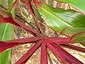 Starr-060916-8965-Cordyline fruticosa-leaf bases-Makawao-Maui (24865404025).jpg