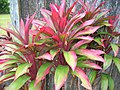 Starr-060916-8969-Cordyline fruticosa-small red form-Makawao-Maui (24771990311).jpg