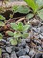 Starr-090401-5492-Veronica arvensis-habit-Olinda-Maui (24583298369).jpg