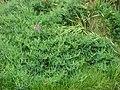 Starr-090514-7855-Lathyrus latifolius-flowering habit-Kula-Maui (24837345622).jpg