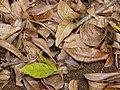 Starr-090521-8343-Fraxinus uhdei-leaves on ground-Polipoli-Maui (24930038536).jpg