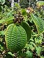 Starr-090526-8552-Clidemia hirta-flowers fruit and leaves-West Poelua West Maui-Maui (24589351769).jpg