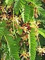 Starr-090720-2977-Tamarindus indica-flowers and leaves-Waiehu-Maui (24970012795).jpg