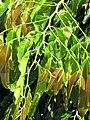Starr-090803-3557-Polyalthia longifolia var pendula-leaves-Waiehu-Maui (24877612541).jpg
