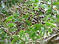 Starr-091104-0689-Lagerstroemia sp-cv Natchez fruit and leaves-Kahanu Gardens NTBG Kaeleku Hana-Maui (24356870964).jpg