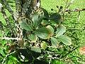 Starr-091104-0810-Lagerstroemia sp-cv Natchez habit-Kahanu Gardens NTBG Kaeleku Hana-Maui (24357042144).jpg