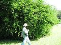 Starr-091104-0880-Cynometra iripa-habit with Forest-Kahanu Gardens NTBG Kaeleku Hana-Maui (24692261190).jpg