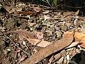 Starr-091115-1308-Eucalyptus sideroxylon-flowers and leaves on ground-Olinda-Maui (24694693370).jpg