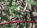 Starr-091209-0395-Rubus niveus-form b stem leaves and thorns-Polipoli-Maui (24361305564).jpg