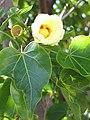 Starr-091221-0759-Thespesia populnea-flower and leaves-Honokanaia-Kahoolawe (24360588384).jpg