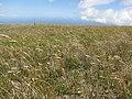 Starr-100601-6587-Anthoxanthum odoratum-blowing in wind-Olinda-Maui (25012928766).jpg