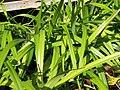 Starr-110215-1266-Dianella sandwicensis-habit-KiHana Nursery Kihei-Maui (25075983505).jpg