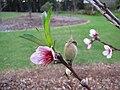 Starr-110217-1501-Prunus persica var persica-Florida Prince leaves flowers and immature fruit-Olinda-Maui (24780794150).jpg