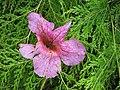 Starr-110307-2092-Podranea ricasoliana-flower on palaa-Kula Botanical Garden-Maui (24781962670).jpg