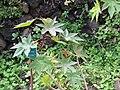 Starr-110307-2247-Ricinus communis-habit-Kula Botanical Garden-Maui (25077867145).jpg