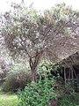 Starr-110331-4531-Buddleja salviifolia-flowering habit-Shibuya Farm Kula-Maui (24786255020).jpg