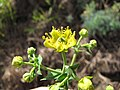 Starr-120403-4112-Ruta graveolens-flowers-Kula-Maui (25112117546).jpg