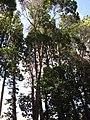 Starr-120510-5662-Lophostemon confertus-habit-Ka Hale Olinda-Maui (25116035906).jpg