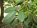Starr-120522-6086-Manilkara zapota-leaves and flower bud-Iao Tropical Gardens of Maui-Maui (25049856051).jpg