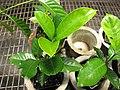 Starr-120522-6585-Gardenia jasminoides-in pots-Iao Tropical Gardens of Maui-Maui (24848301390).jpg