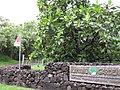 Starr-120606-6790-Artocarpus altilis-habit and signs-Kahanu Garden NTBG Hana-Maui (24776646119).jpg