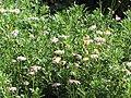 Starr-130304-1961-Unknown asteraceae-flowering habit-Montrose Crater Rd Kula-Maui (25113155601).jpg