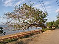 Starr-130320-3524-Terminalia catappa-habit with folks hanging at park-Anini Beach-Kauai (25209306185).jpg