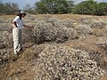 Starr-130422-4276-Encelia farinosa-habit filling area with Kim-Kahului-Maui (25092179092).jpg