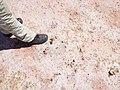 Starr-130918-2162-Cyperus laevigatus-habit with spongy pink layer-Lake-Laysan (25133648671).jpg