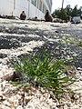 Starr-150325-0391-Poa annua-habit lead abatement and Laysan Albatrosses-Charlie Barracks Sand Island-Midway Atoll (24638789903).jpg