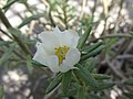 Starr-170208-6795-Portulaca villosa-flower-Maui Nui Botanical Garden Kahului-Maui (32997767510).jpg