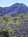 Starr 031001-0088 Sophora chrysophylla.jpg