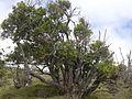 Starr 031111-0117 Nestegis sandwicensis.jpg