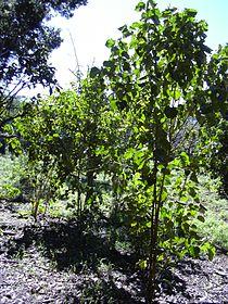 Starr 040105-0089 Croton guatemalensis.jpg