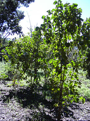 Description de l'image Starr_040105-0089_Croton_guatemalensis.jpg.