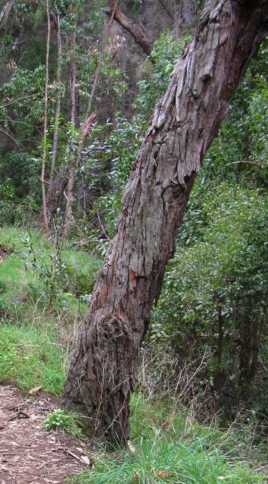 Starr 041221 1795 acacia melanoxylon-bark