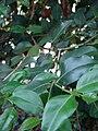 Starr 061105-1342 Psydrax odorata.jpg