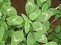 Starr 061114-9880 Amaranthus spinosus.jpg
